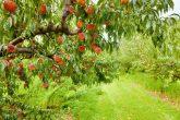 Photo Credit: http://previews.123rf.com/images/alexeys/alexeys1201/alexeys120100040/12074940-Peach-orchard-Stock-Photo-tree.jpg