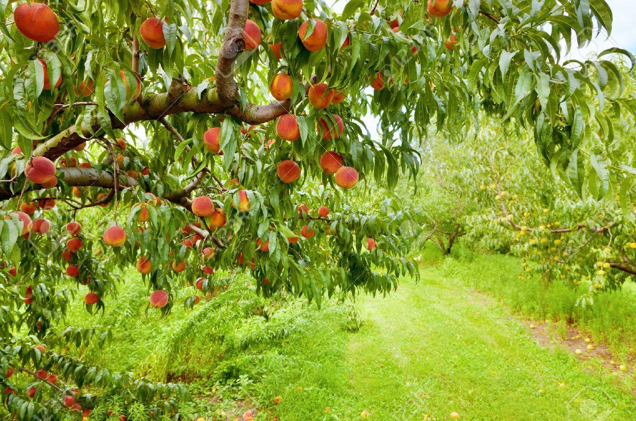 fruit-orchard.jpg
