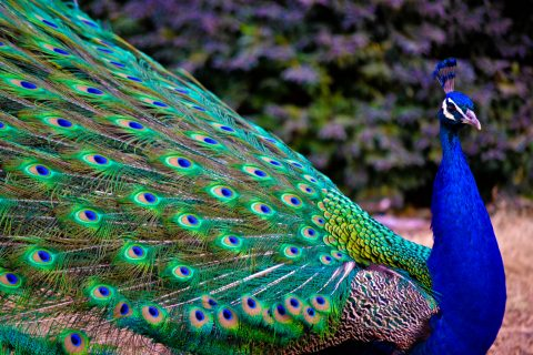 Photo credit: http://weknowyourdreams.com/image.php?pic=/images/peacock/peacock-07.jpg
