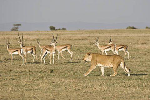 Photo credit: https://hewantedtheball.files.wordpress.com/2013/11/lion-and-gazelle.jpg?w=750