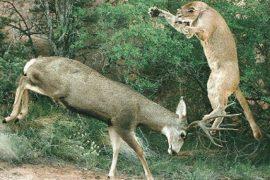 lion attacking deer