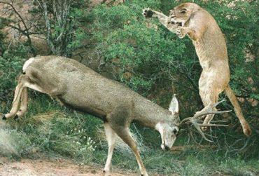 lion-attacking-deer-370x251.jpg