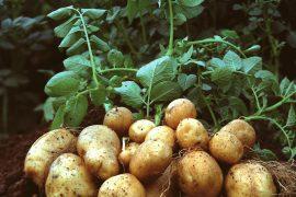 Photo Credit: http://seedfreedom.in/wp-content/uploads/2012/11/Potato-plant.jpg