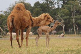 Photo credit: https://www.zoo.org.au/news/new-camel-calf-at-werribee-open-range-zoo