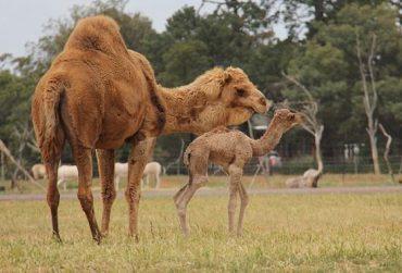 Camel01-370x251.jpg