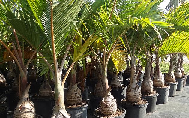 Photo Credit: http://www.aspen-nursery.com/images/slides/palm-trees.jpg