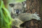 Photo credit- http://blogs.discovermagazine.com/d-brief/files/2014/06/koala.jpg