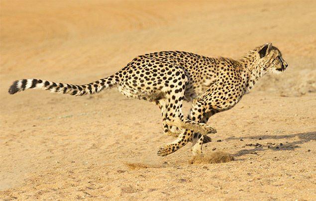 Photo credit - https://www.natgeokids.com/au/discover/animals/general-animals/cheetah-facts/#!/register