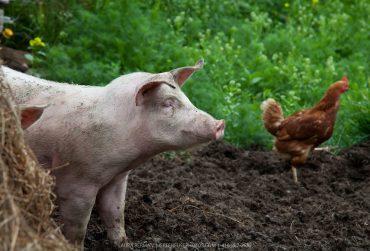 pig-chicken-370x251.jpg