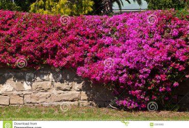 Bougainvillea-flower-370x251.jpg