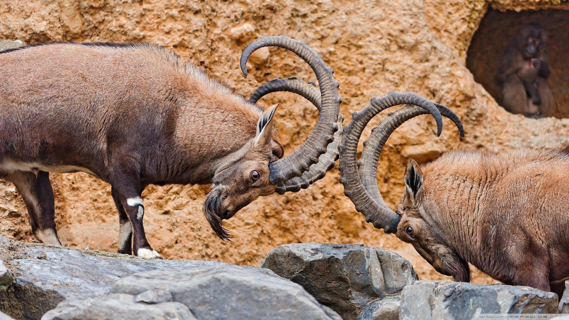 Goats-fighting.jpg
